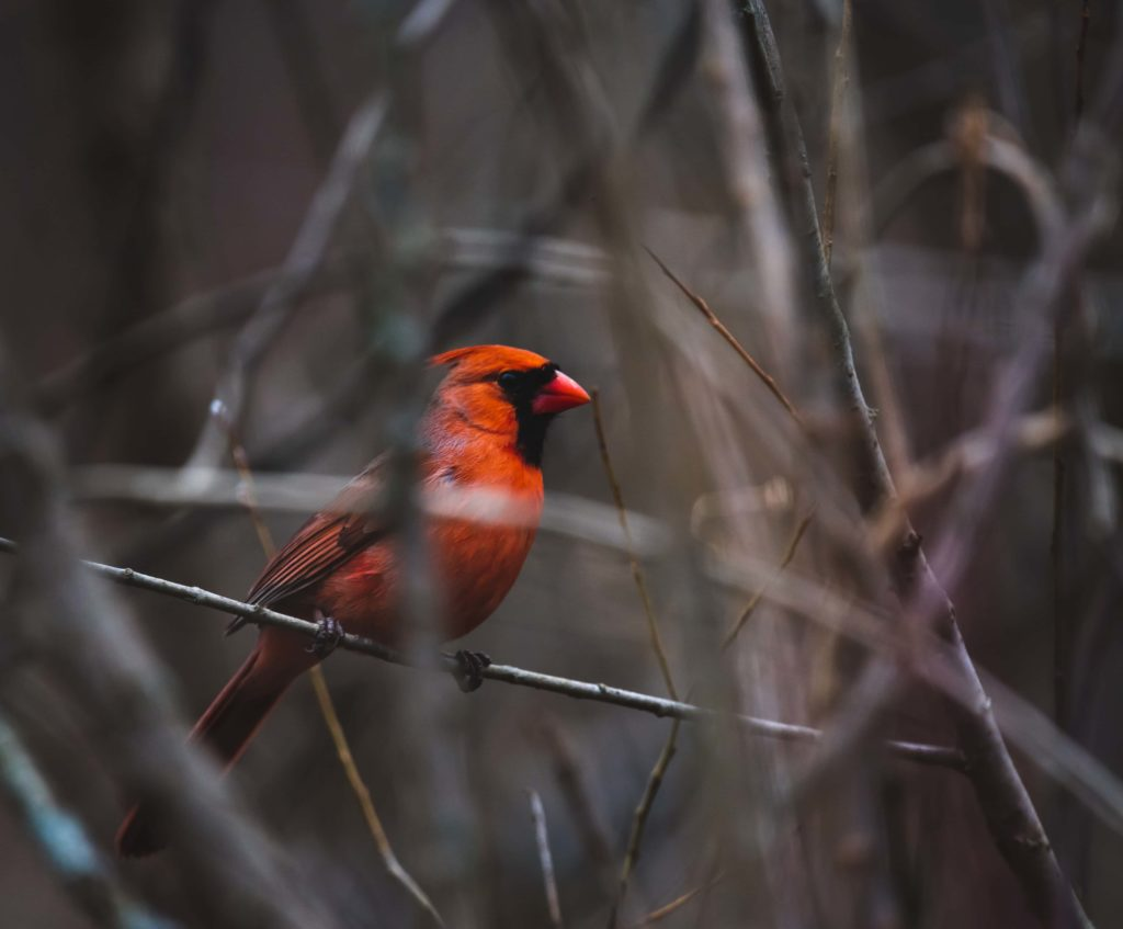 Ein roter Vogel (Red Cardinal) im dunklen Geäst wird beobachtet