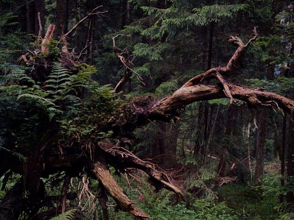 Shinrin-Yoku in the midsts of trees