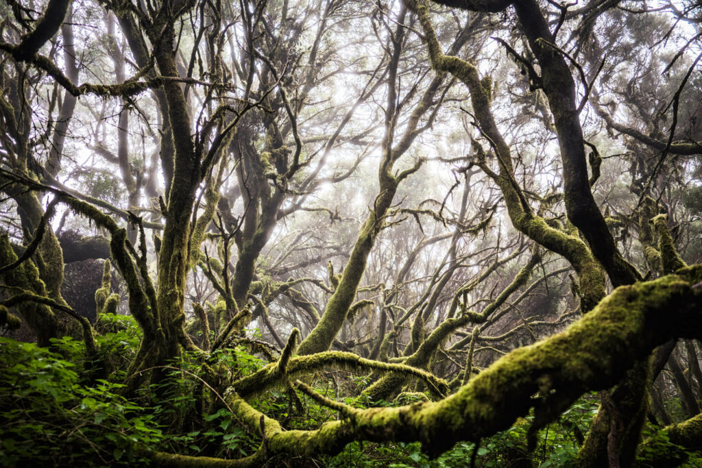 the foggy forests of El Hierro