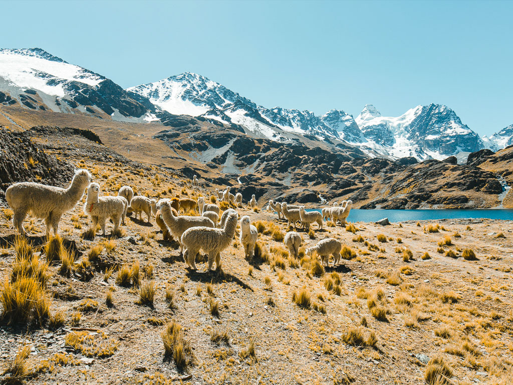 a herd of fascinating alpaccas in the high mountains on a sunny day