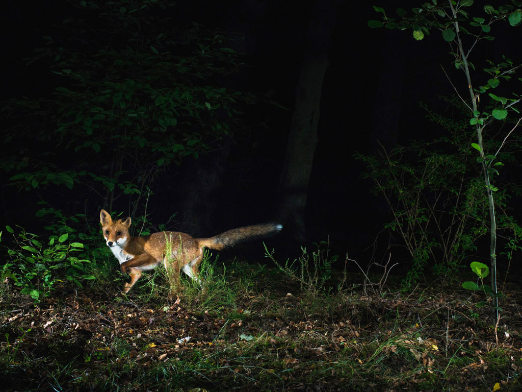 suddenly a fox appears caught in the flash lights